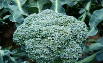 Brokuł – właściwości, jak gotować, z czym łączyć?