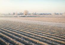 nasiona na pole